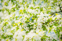 White flowers on a blossom cherry tree