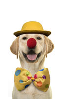 Labrador retriever with a huge smile dressed up as a clown on a white background