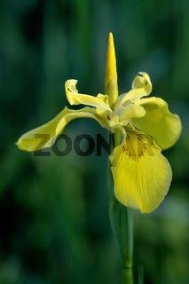 Gelbe Sumpfschwertlilie / Iris Pseudacorus