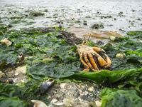 Dead crab on the North Sea beach