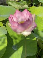 Lotosblume, Lotus nucifera