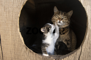 mom cat with a kitten, a kitten plays with mom