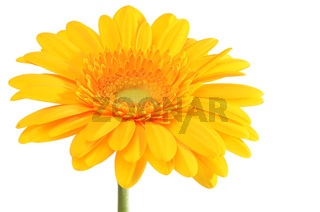 The gerbera flower isolated on white