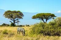 Lone zebra grazes in the savannah