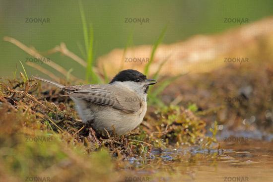 Marsh tit (Poecile palustris)