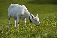 Grazing unhorned Saanen goat, Saanen, Obersimmental-Saanen, Canton of Bern, Switzerland
