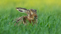 Brown hare looking on green field in summertime nature