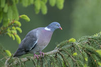Common Wood Pigeon often uses spruce trees as nesting and roosting sites / Columba palumbus
