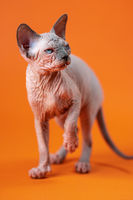 Canadian Sphynx Cat of blue mink and white color, standing with his paw raised on orange background