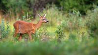 Roe deer sneaking on growned pasture in summer nature
