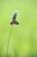 grizzled skipper open