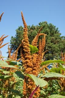 Amaranthus caudatus, Gartenfuchsschwanz, pendant amaranth