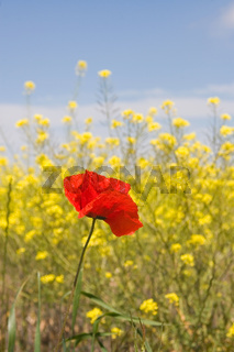 Poppy in Soria