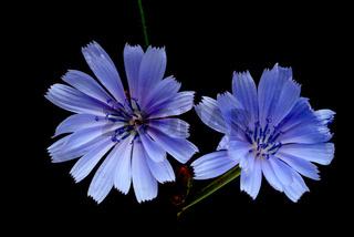 Wegwarte, Blauwarte, Heilpflanze, Cichorium intybu