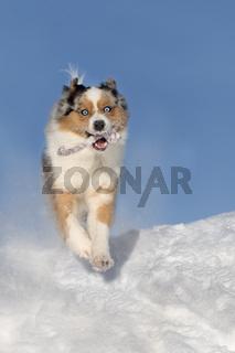 Hund, Australian Shepherd springt, tobt im Schnee