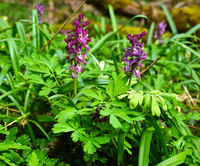 Hollowroot, hollowroot-birthwort,