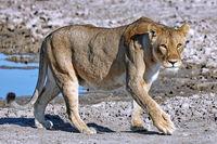lioness, Etosha National Park, Namibia, (Panthera leo)