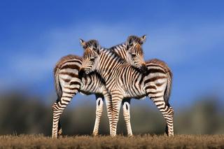 Schmusende Zebrafohlen