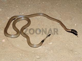 Slender coral snake, Calliophis melanurus, Satara, Maharashtra, India