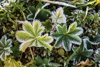 Frozen grass hoarfrost