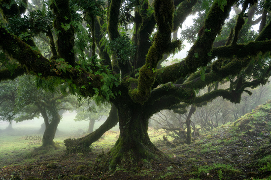 Til ancient tree on the Fanal Portuguese National Park in Madeira, Portugal