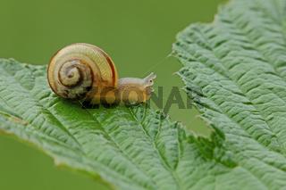 Schnecke (Gastropoda)