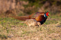 Two common pheasants moving on meadow in spring nature