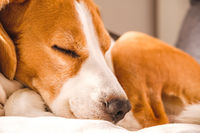 Funny Beagle dog tired sleeps on a cozy sofa, couch.