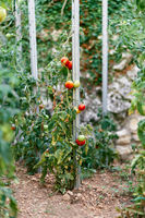 Green and ripe tomatoes tied to props in the garden bed
