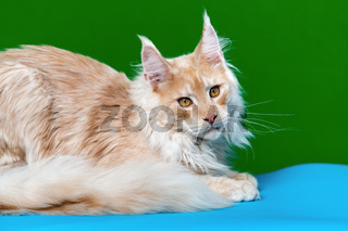 Portrait of red tabby American Longhair Cat looking at camera
