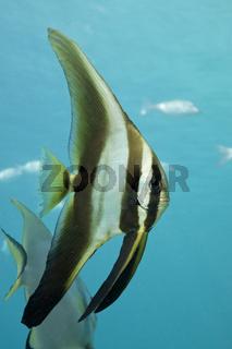 Juveniler Langflossen-Fledermausfisch