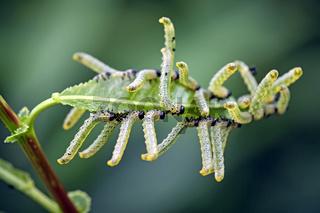 Larven von Blattwespen ( Tenthredinidae ).