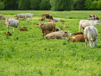 Cows with their calves in a pasture en