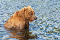 Terrible Kamchatka brown bear standing in water, looking around in search red salmon fish