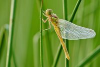 young skimmer dragonfly