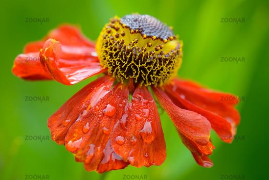 Red Rudbeckia