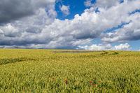 Kornfeld mit blauen Kornblumen