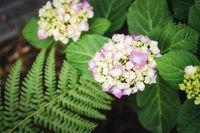 Hydrangea in the garden