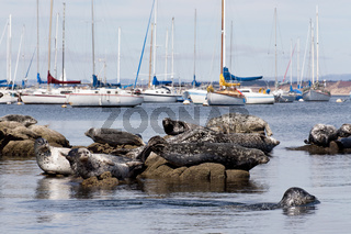 Grouping of Harbor Seals