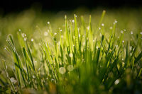 Grass with dew drops on a meadow in the early morning at sunrise