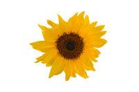 Yellow sunflower over white