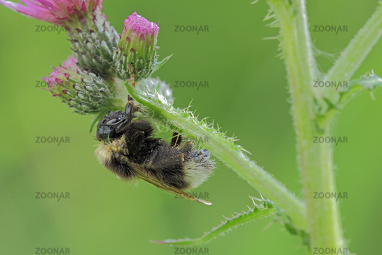 Bumble-bee (Bombus)