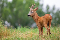 Roe deer buck standing on field in summer nature from back