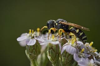 Grabwespe ( Lestica alata ).