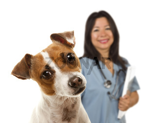 Jack Russell Terrier and Female Veterinarian Behind