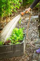 Watering salad in raised bed in garden. Gardening in spring time.