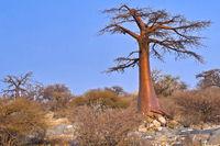 Baobab, Chobe National Park,, Botswana