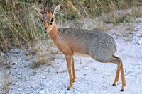Damara Dik Dik, the smallest antelope in africa - Namibia