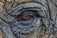 Close up of eye of elephant, Elephantidae