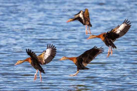 A group of whistling ducks landing on a lake.